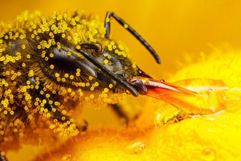 пчела в пыльце