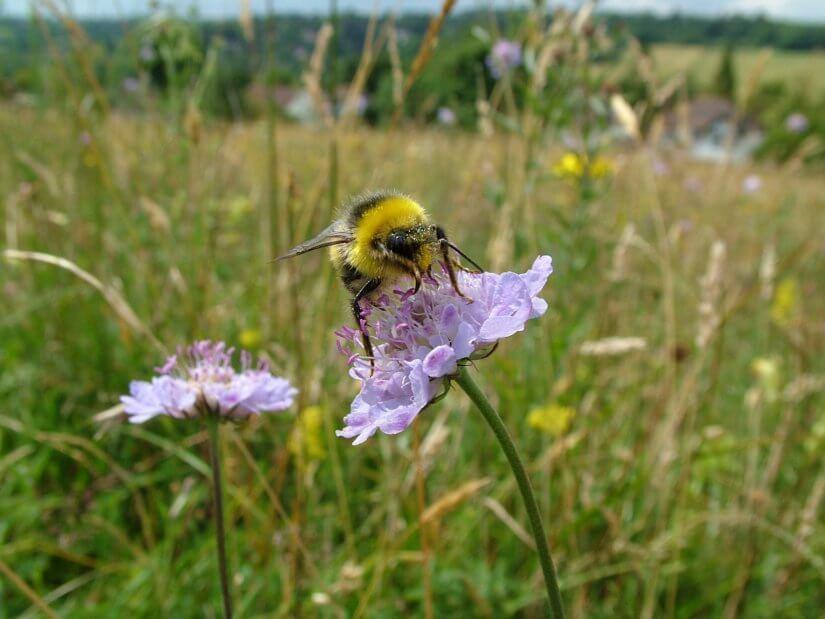 пчёлы на разнотравье