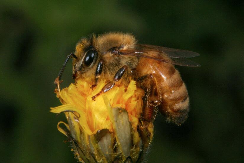 Расы пчел
