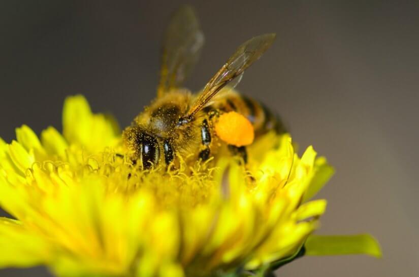 Сбор пыльцы макро 2