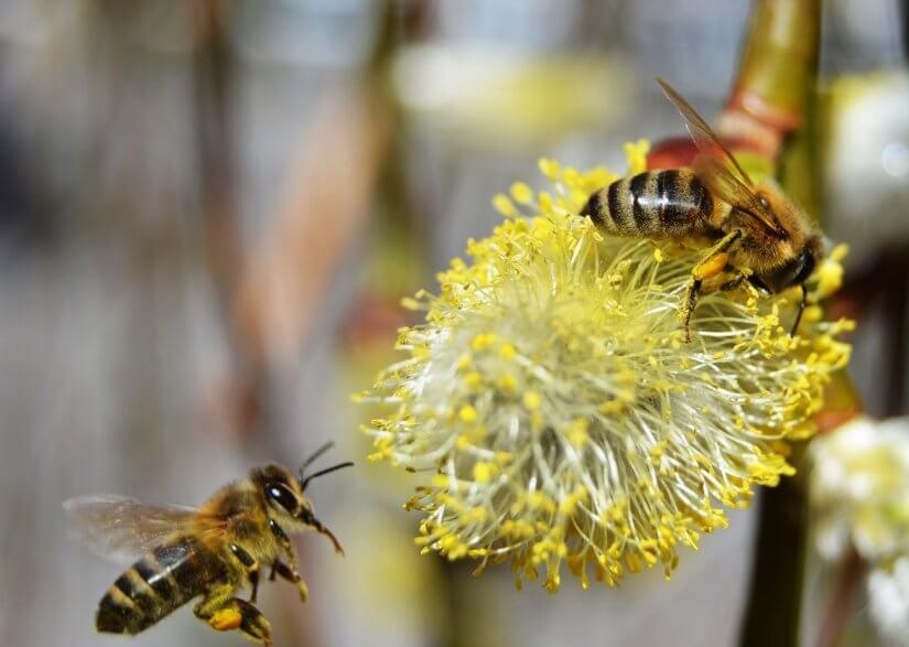 Сборщица пыльцы