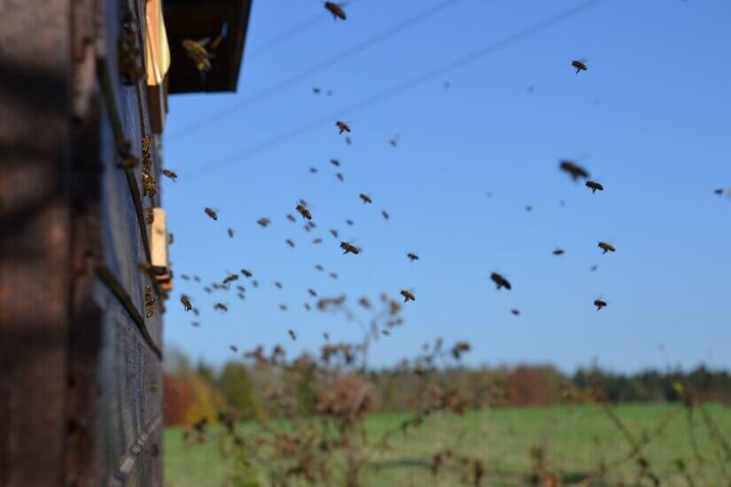 Пчелы на облете