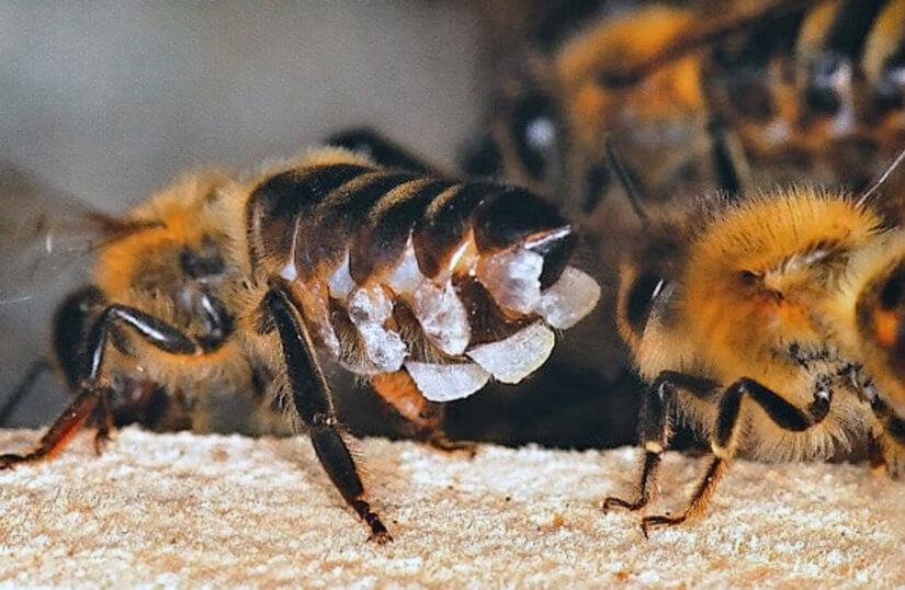 чешуйки пчелиного воска 1