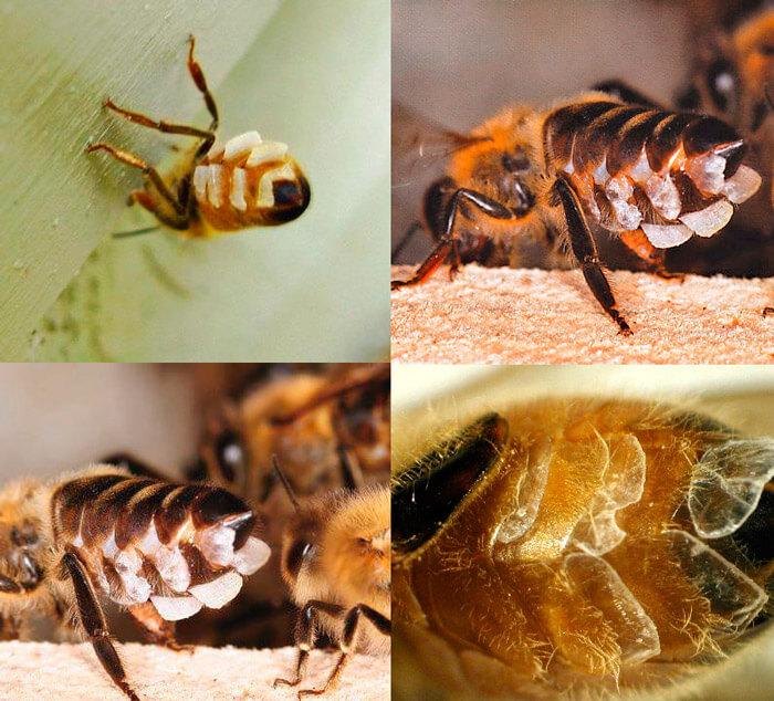 чешуйки пчелиного воска 3