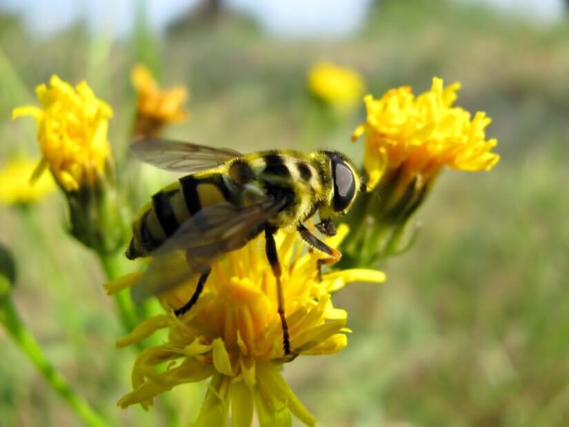 Пчёлы на лугу