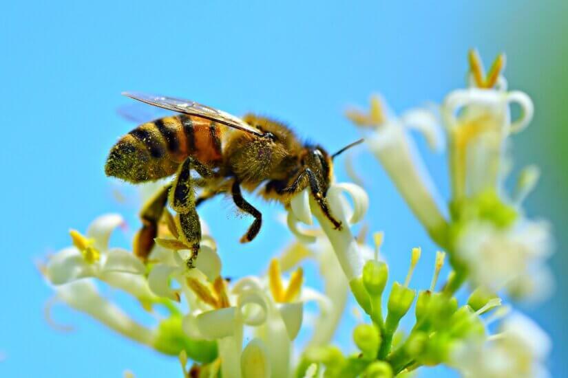 Пчела на медосборе