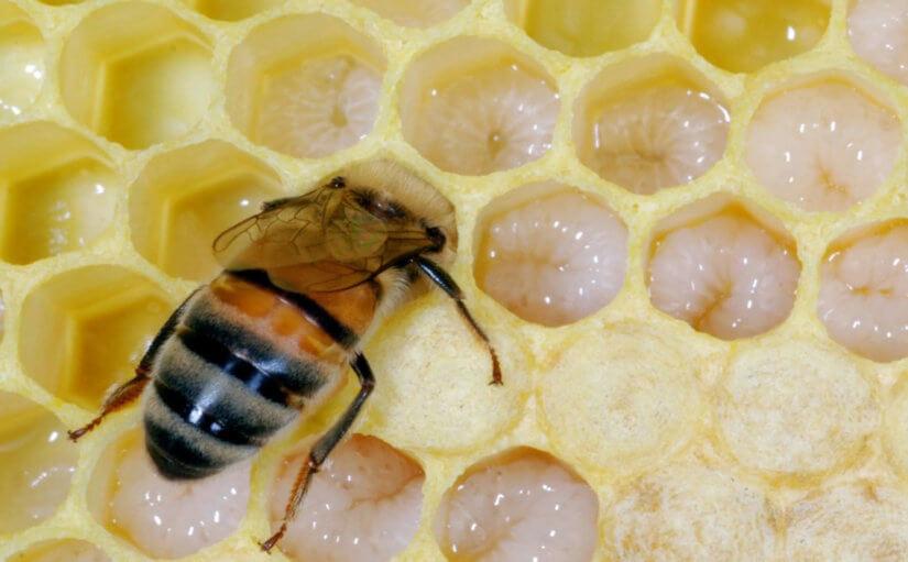 пчела кормит молочком