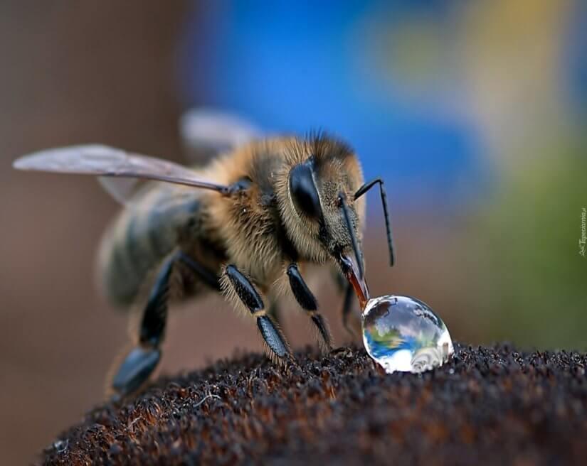 пчелы пьют воду 1