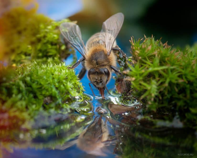 пчелы пьют воду 2