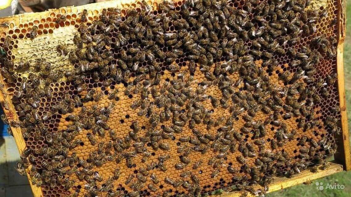 внутриульевые пчелы